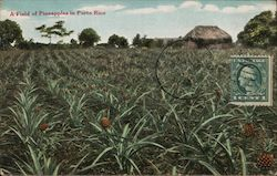 A field of Pineapples