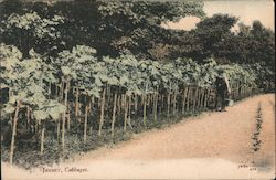 Jersey, Cabbages Postcard