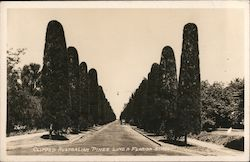 Clipped Australian Pines Line a Florida Street Postcard