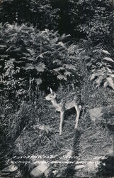 A Northwoods Fawn Postcard