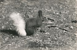 White Tailed Squirrel in Kaibab National Forest