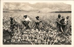 Pineapples at Harvest Time, Hawaiian Islands