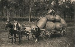 Man on Cart of Huge Potatoes Pulled by Horses Postcard