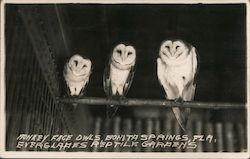 Monkey Face Owls, Everglades Reptile Gardens Postcard