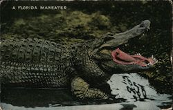 A Florida Maneater - Osky's Alligator Store