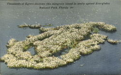 Thousands Of Egrets Decorate This Mangrove Island , Ever Glades National Park