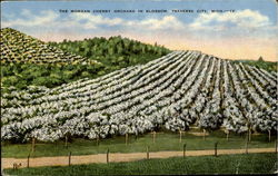 The Morgan Cherry Orchard In Blossom