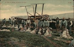 A Crew of Sheep Shearers at Work Postcard