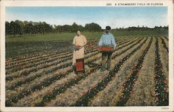A Strawberry Field in Florida Postcard