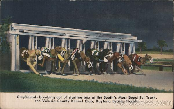 Greyhounds breaking out of starting box at the South's most beautiful track, the Volusia County Kennel Club, Daytona Beach, Florida