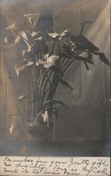 Real Photo Potted Calla Lillies Postcard