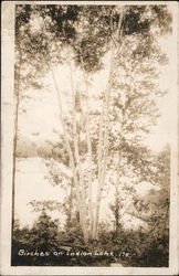 Birches on Indian Lake Postcard