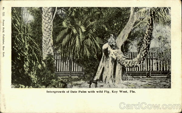 Intergrowth Of Date Palm With Wild Fig Key West Florida