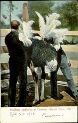 Plucking McKinley At Cawston Ostrich Farm