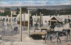 Canada's Only Pack of Wolves in Captivity at Salt Ste.
