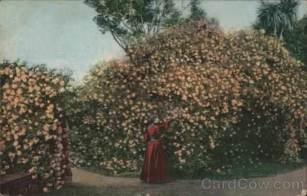 Thousands of Gold of Ophir Roses California