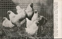 A pen of White Wyandottes, bred and owned by Gus. L. Hainline, Lamar, Mo. Postcard