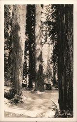 Columbian Tree, Ranier National Park Postcard