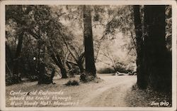 Century Old Redwoods Shade the Trail Through Muir Woods Nat'l Monument Postcard