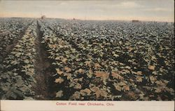 Cotton Field Postcard