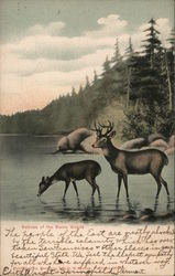 Natives of the Maine Woods - Deer