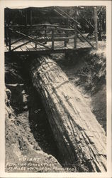 Giant Petrified Forest Park Postcard