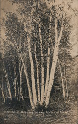 Birches at Morgans Island Postcard
