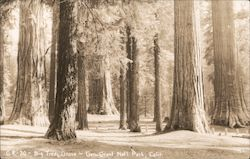Big Tree Grove, Gen. Grant National Park Postcard