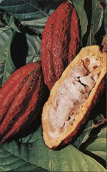 Cocoa Pods Rich in Colour and Flavour Postcard
