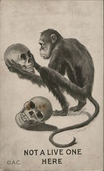 Not a live one here - monkey holding a skull with another skull beside him Postcard