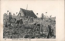 Cultivating Tobacco Postcard