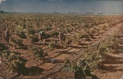 Wente Brothers Vineyards Postcard