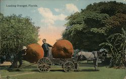 Loading Oranges Postcard