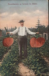 Strawberries as Grown in Idaho Postcard