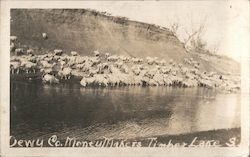 Herd of Sheep in Timber Lake, Dewy County Postcard