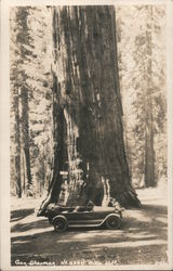 General Sherman Tree Postcard