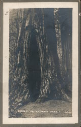 The Mother,California Redwood Park Postcard