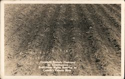 Cornfield Entirely Destroyed by Grasshoppers Postcard