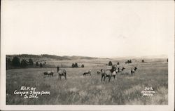 Elk at Custer State Park Postcard