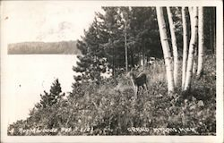 A Deer in the Northwoods Postcard