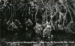 Cockroach Key, Oysters Growing on Mangnove Trees - Jungle Scene Postcard