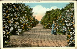 Orange Grove In Blossom