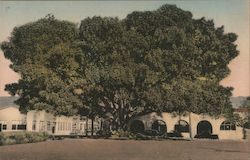 Moreton Bay Fig Tree, Southern Pacific Station Grounds Postcard