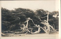 Cypress Trees - 17 Mile Drive Postcard