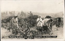 Picking Grapes Near White Cottages Postcard