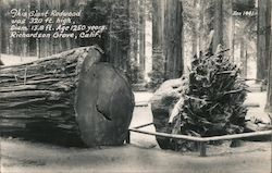This Giant Redwood Postcard