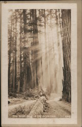 The Sun's Rays in the Redwoods Postcard