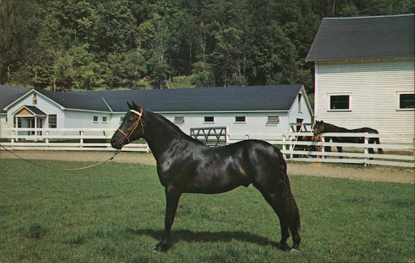Orcland Bold Fox - Morgan black stalliion, Green Mountain Stock Farm Randolph Vermont