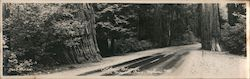 California Redwoods, Highway #199 Large Format Postcard