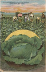 """Growing Buckbee's Christmas King Cabbage on Rockford Seed Farms"""